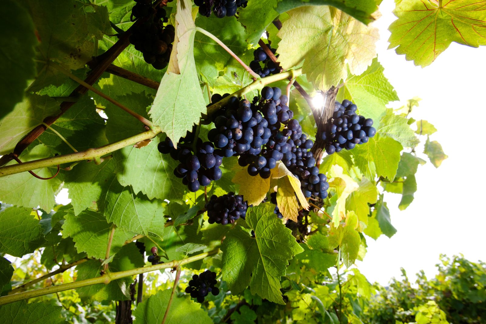 Pinot Noir grapes growing in Herefordshire. Mainly grown in the UK for sparkling wine, the still ...