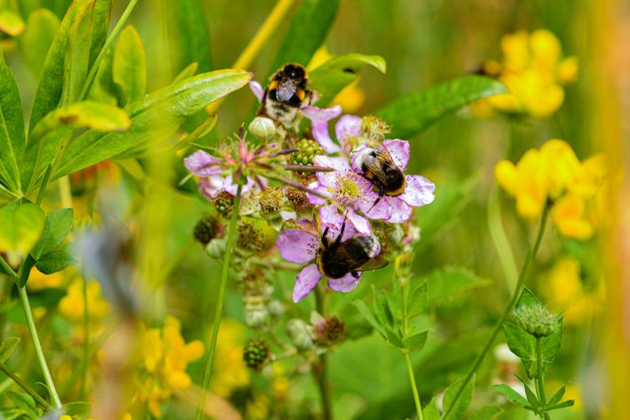 Buff-tailed bumblebees, originally from Europe, forage on blackbeerry flowers in Puerto Blest, Argentina. The invasive species ...