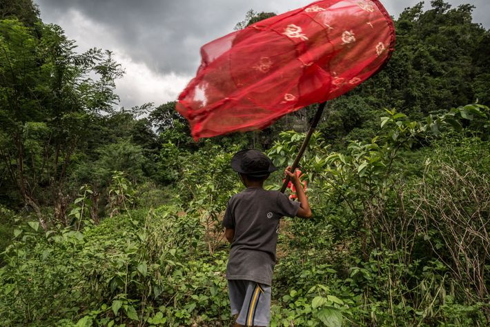 Dealers often pay children to find and trap butterflies on Indonesia's Sulawesi island. The children work ...