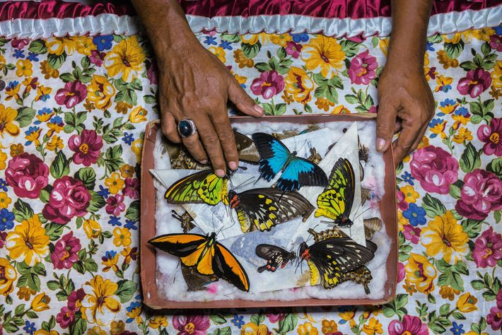 A catcher on Bacan island, Indonesia, sorts his specimens, which he'll sell in Bali. From there ...