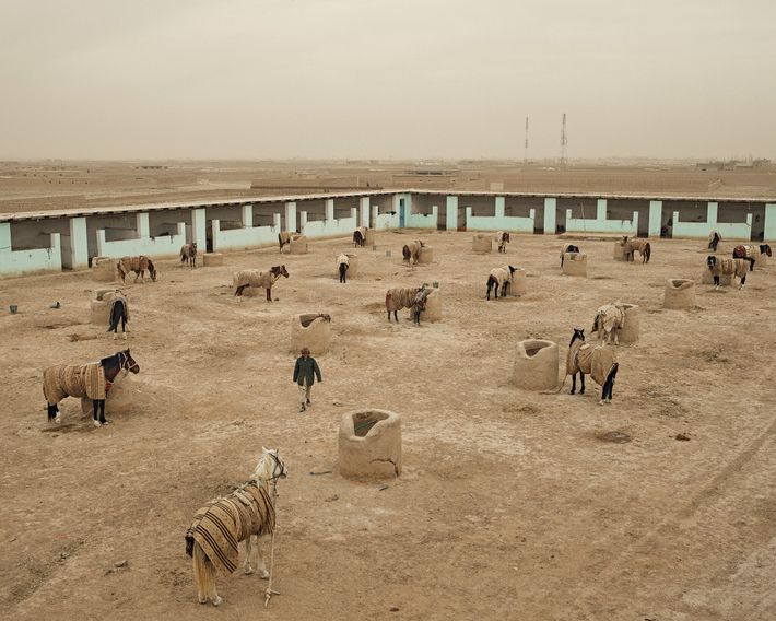 Horses rest at the Tolai Sawar stables in Shiberghan. With Afghan stocks destroyed by decades of ...