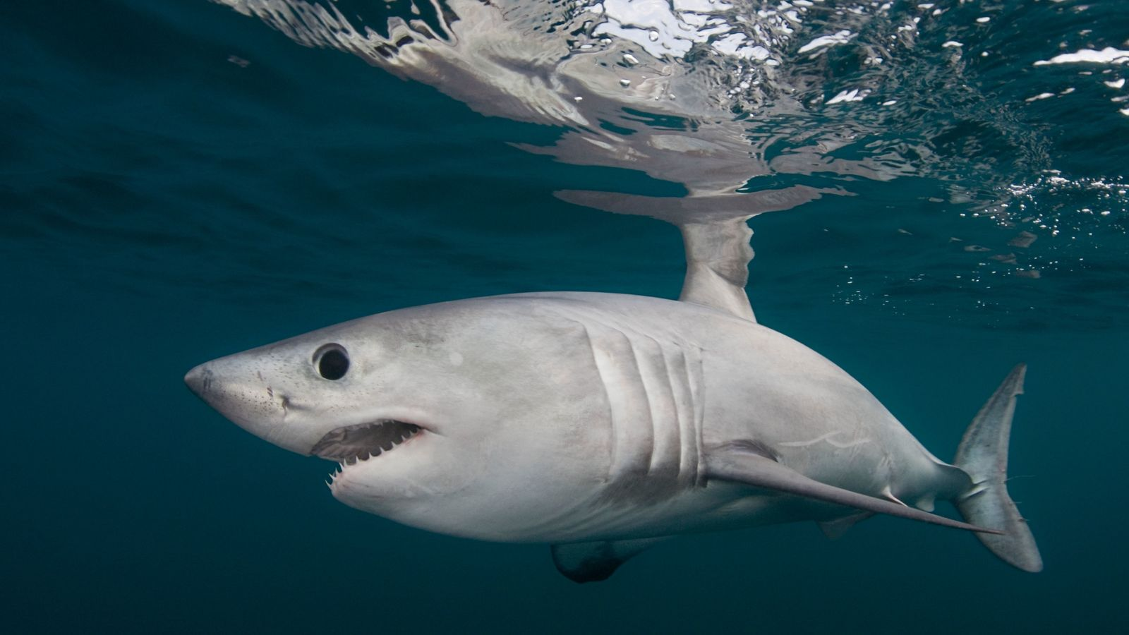 Which sharks swim in UK seas? More than you might think.