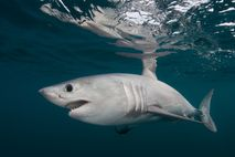Smaller but similar in appearance to its mackerel shark cousin the great white, so associated is ...