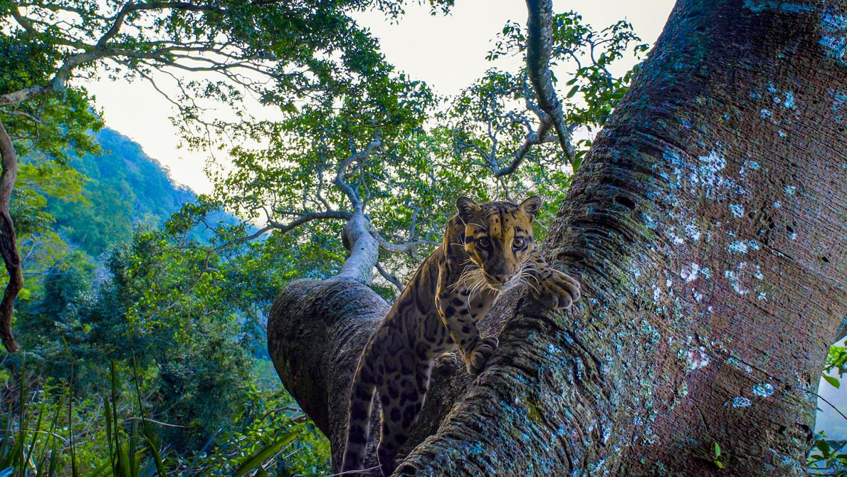 Reaching a length of around 3 feet, the clouded leopard is classed as vulnerable in its ...