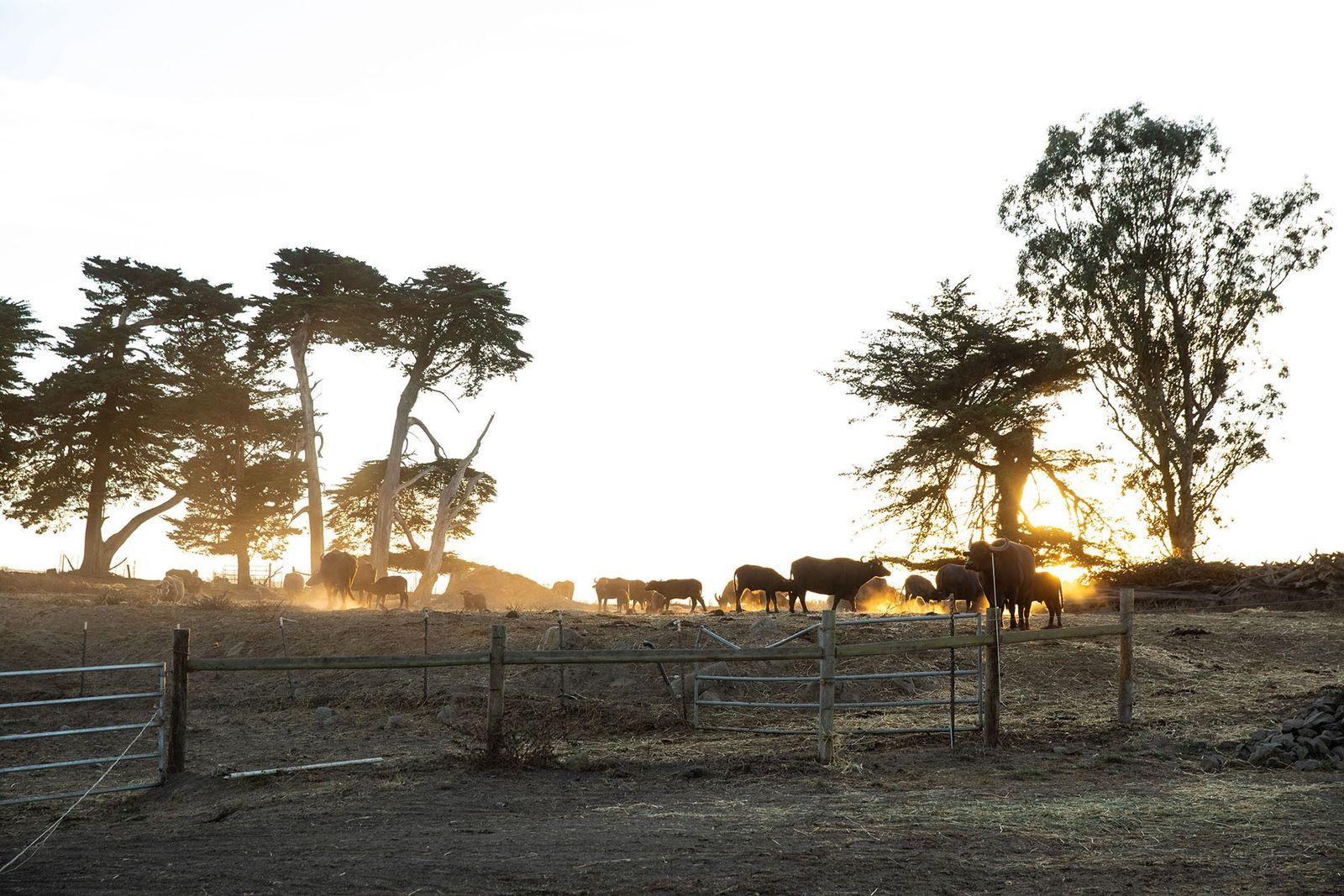 Buffalos at Ramini Mozzarella.