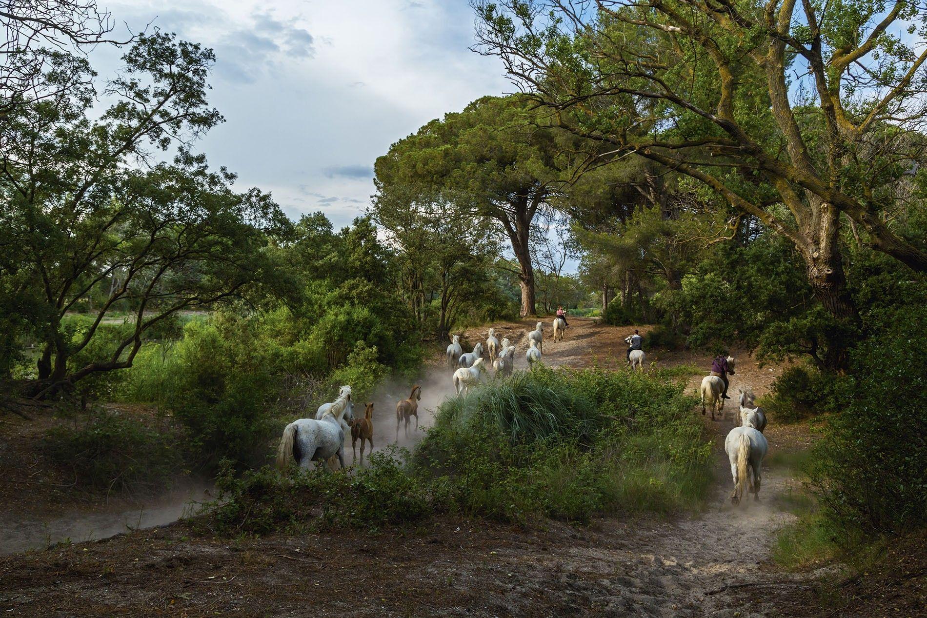Wild horses of the Camargue near Aigues-Mortes.