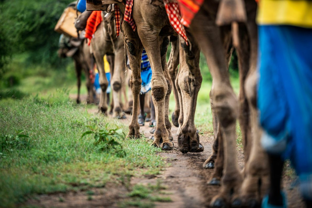 Samburus have used camels as transport for thousands of years. By joining a camel safari, visitors ...