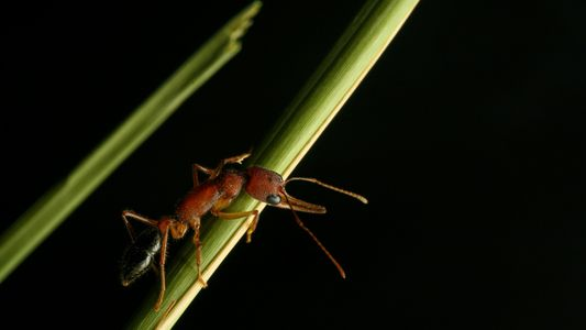 These ants can shrink and regrow their brains