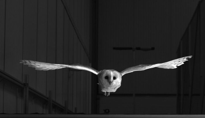 The owl's ability to adjust its flight to winds instantaneously – almost pre-emptively – has been ...