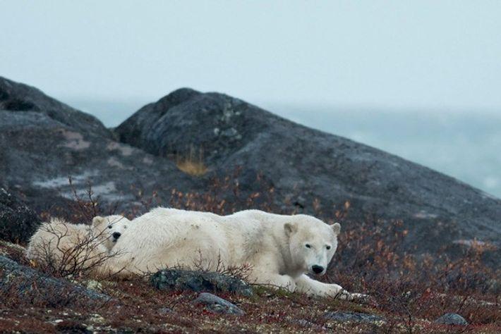 Polar bear and cub near Bird Cove. Image: Mark Stratton