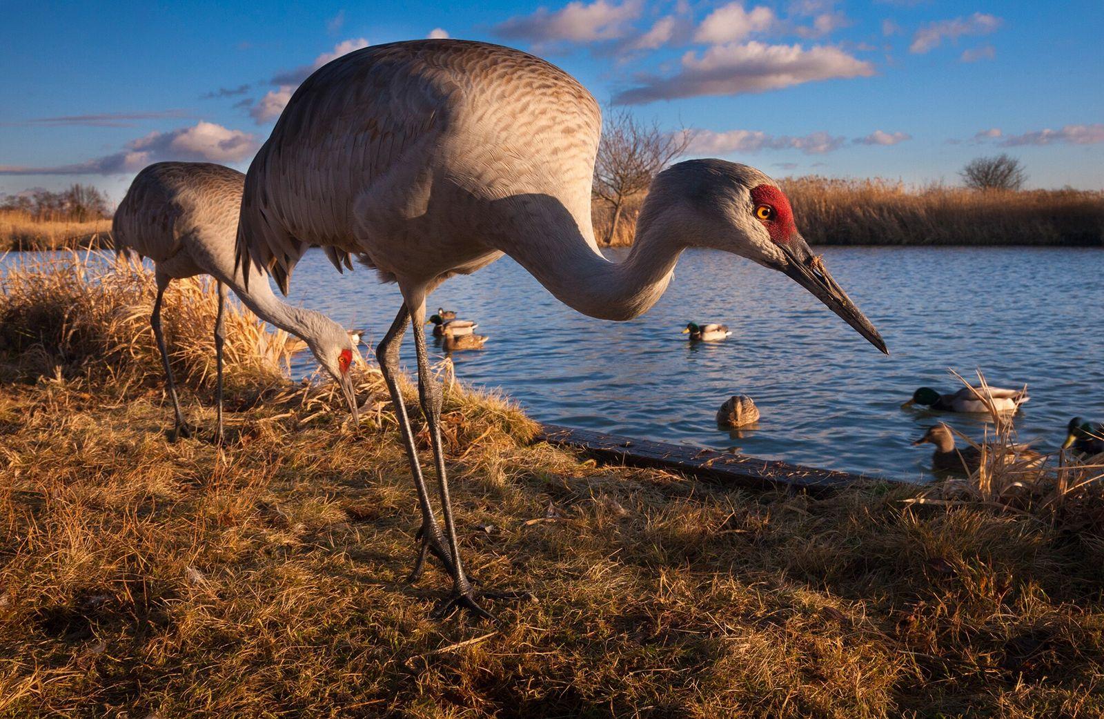 Sandhill cranes and mallards, along the Fraser River estuary.