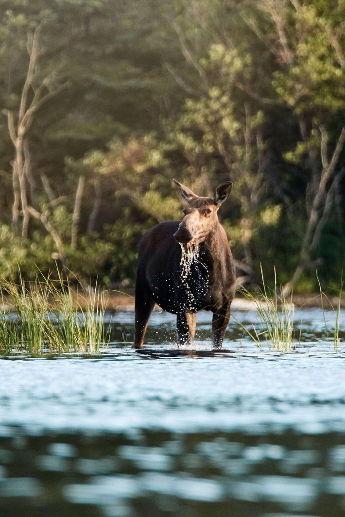A moose.