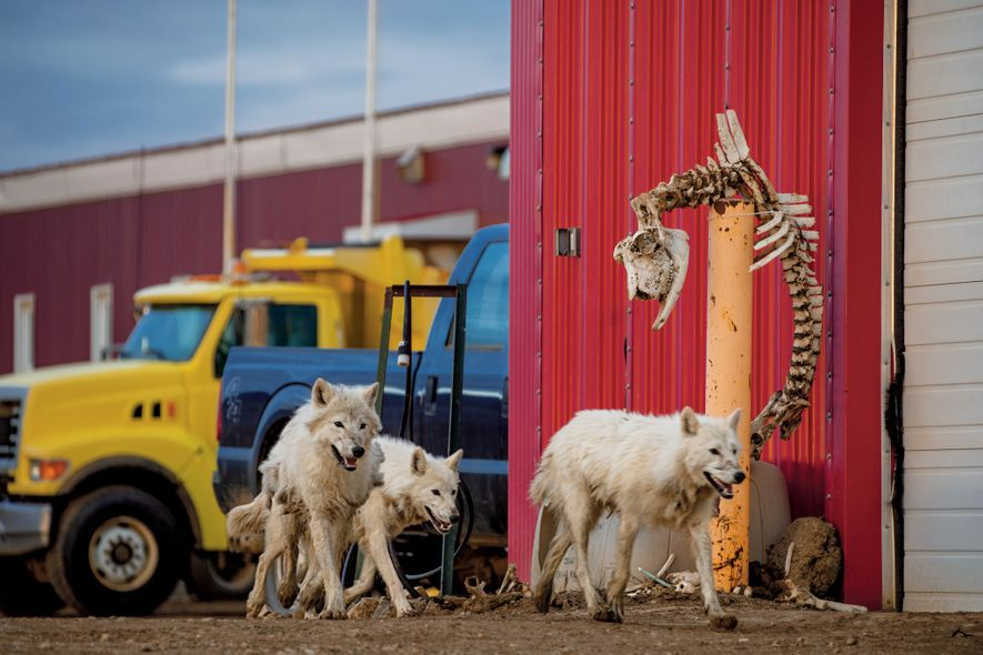 The wolves visited a Canadian military outpost, ignoring the muskox skeleton hung up by the staff. ...