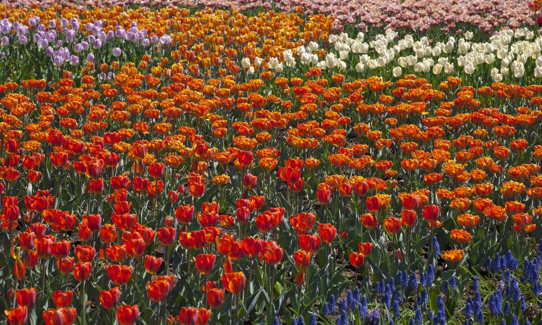 With close to a million tulip bulbs planted for the Canadian Tulip Festival in Ottawa, Ontario, ...