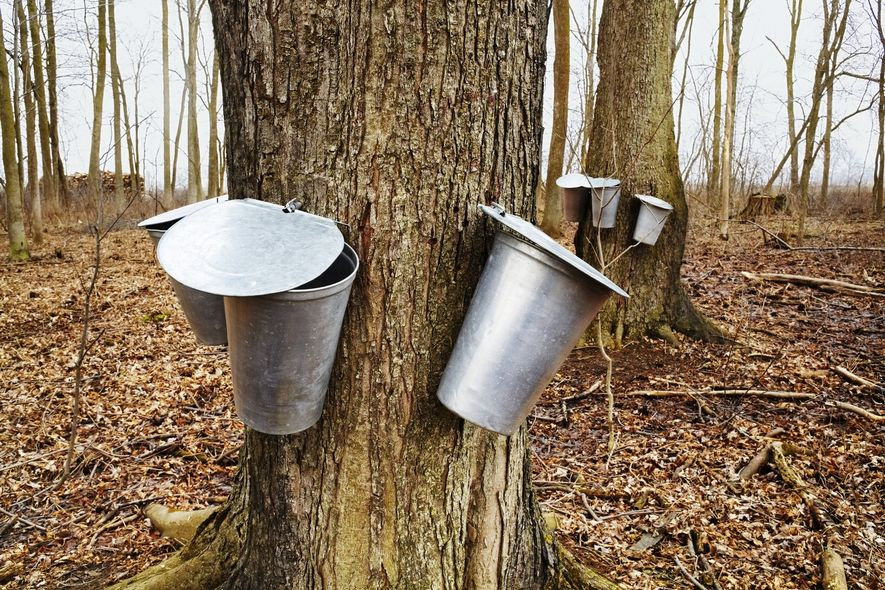 Sweet syrup is harvested from maple trees across Canada in the springtime. Locals celebrate by heading ...