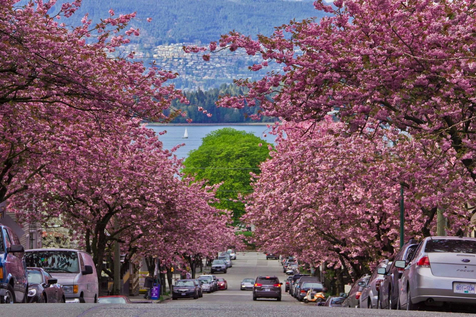 In British Columbia, the Vancouver Cherry Blossom Festival celebrates 40,000 blooming cherry trees with a series ...