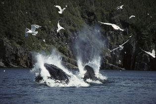 Newfoundland and Labrador is home to the world's largest population of humpback whales, and May is ...