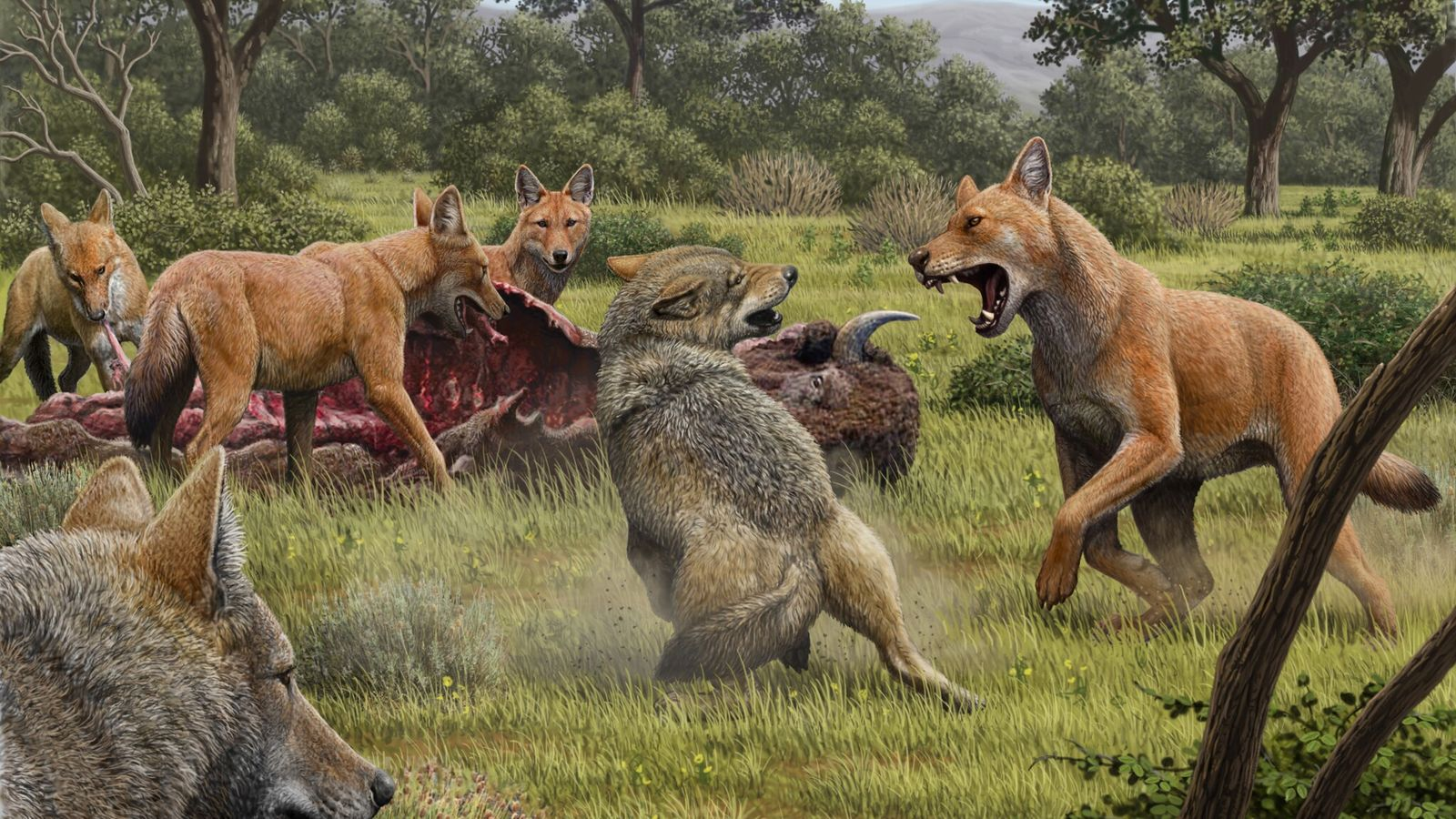 Dire wolves, with reddish fur, facing off against grey wolves. This image, made by artist Mauricio ...