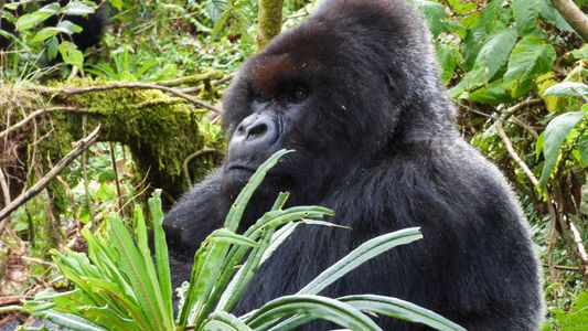 Gorilla Made Famous by Dian Fossey 'Returns From the Dead'