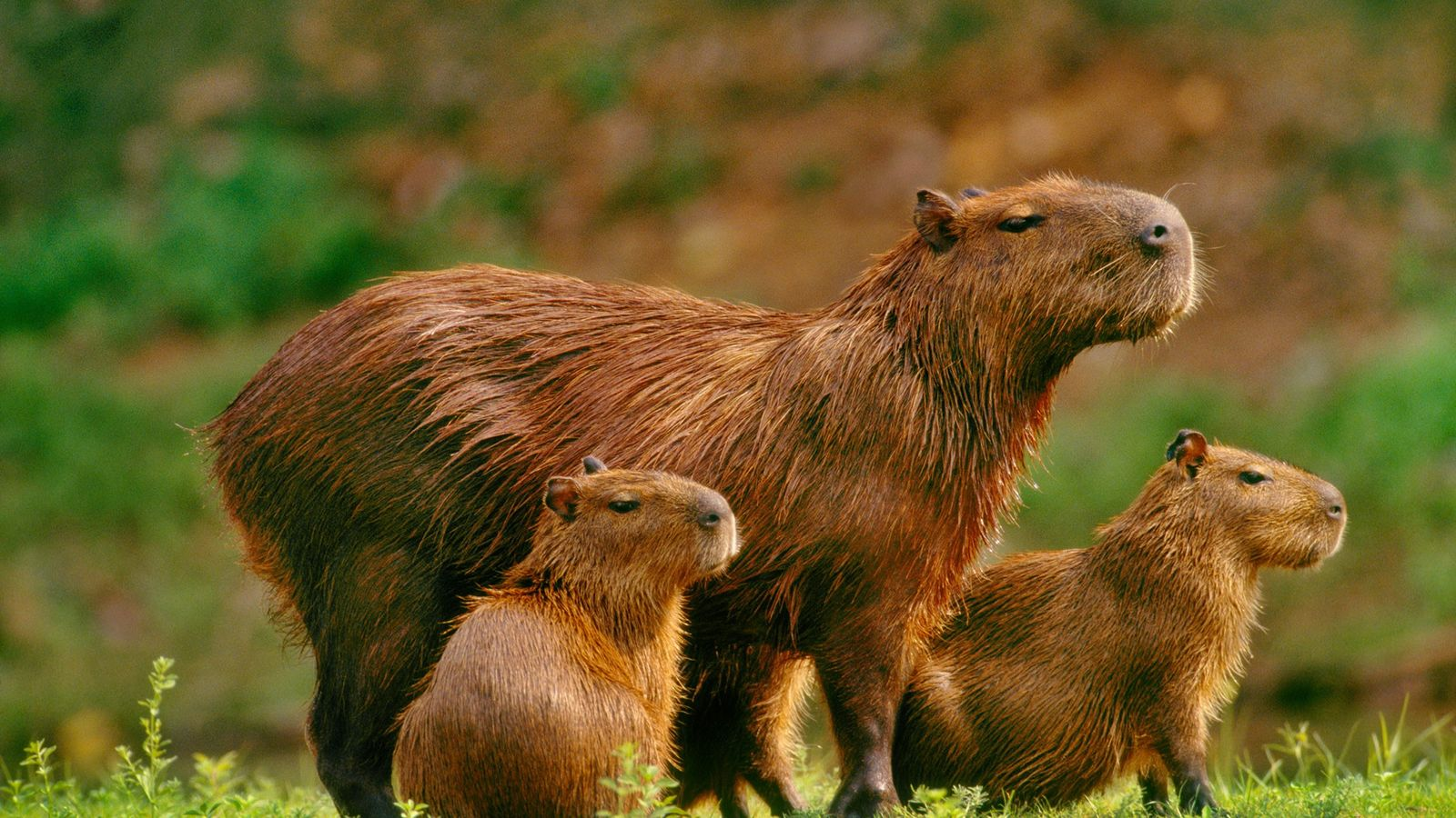 A mother capybara and her young are seen in Pantanal, Brazil.