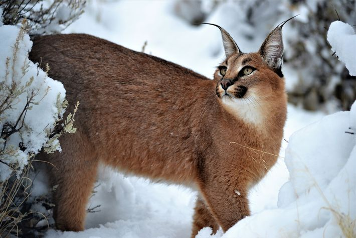Sorcha, a caracal confiscated from Christopher Casacci's home in Buffalo, New York, on July 5, 2018, ...