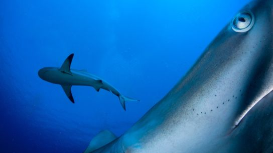 """Caribbean reef sharks swim close to a camera in Cuba's Garden of the Queens. """"The idea ..."""