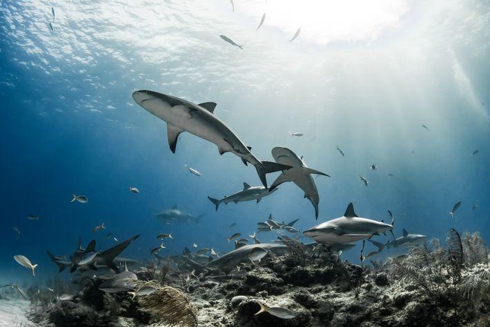 Caribbean reef sharks gather around the rock and corals near Grand Bahama Island.