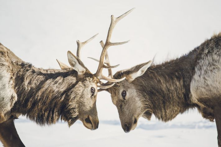 The Slate Islands are known for having Ontario's largest herd of boreal woodland caribou.