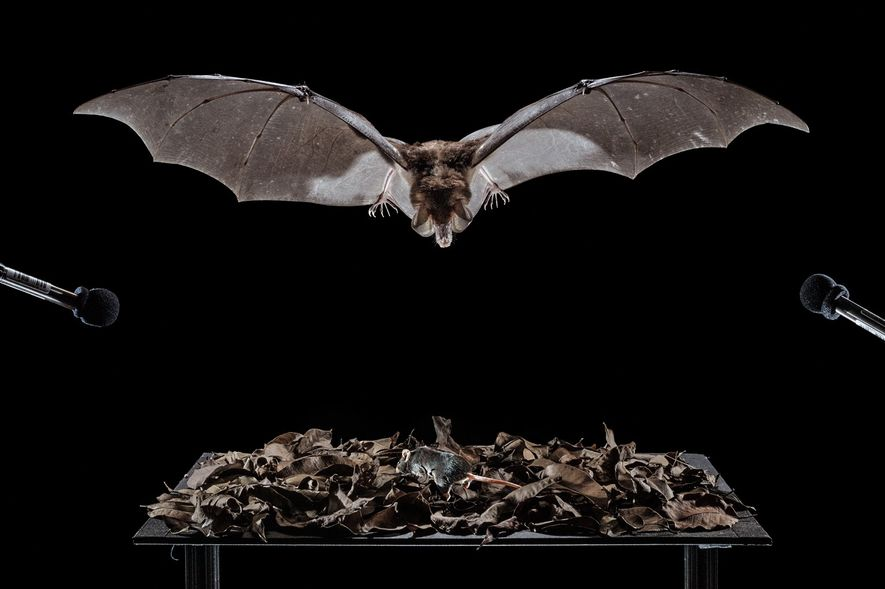 A spectral bat in a cage targets a laboratory mouse in leaf litter on a table. ...