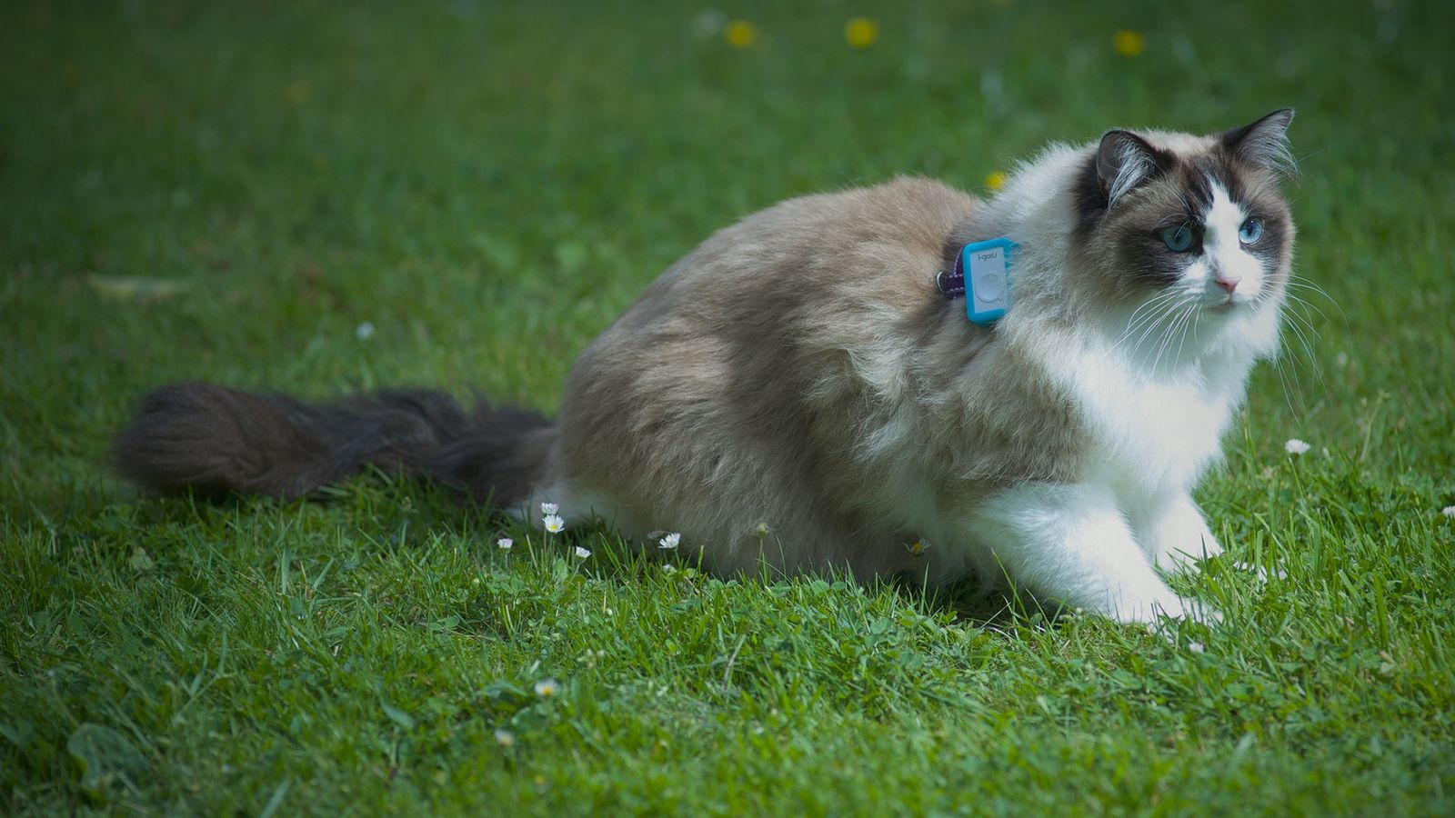 Each cat in the study wore a harness with a GPS device for a week to ...