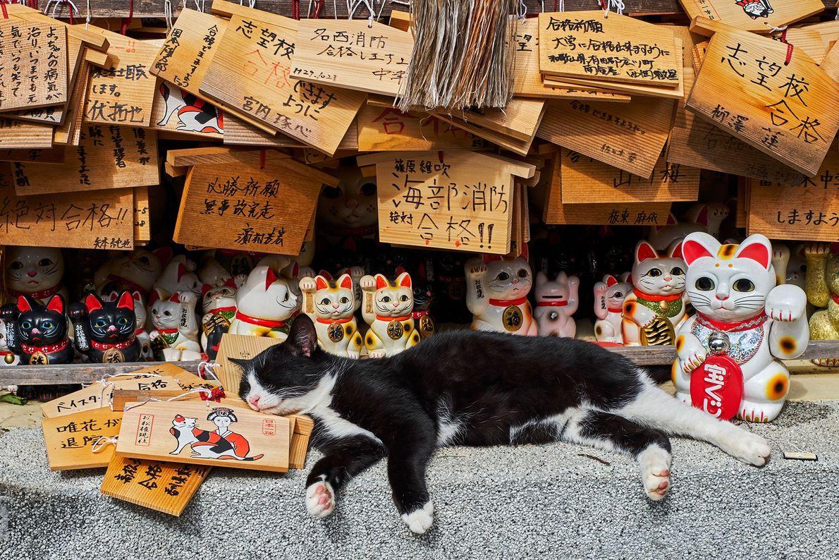"A real cat lies among 'maneki-neko', or ""beckoning cat"" statues at a cat temple in Japan."