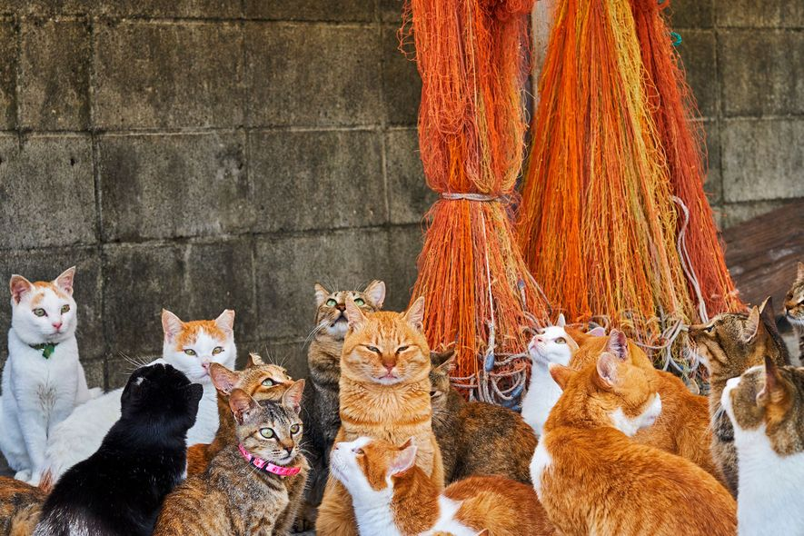 These felines live on one of nearly a dozen 'cat islands' in Japan. The photographers say ...