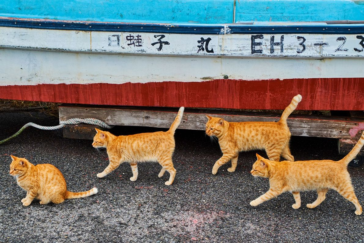 """Tabbies stride alongside a fishing boat in Japan, where cats enjoy a """"special relationship"""" with fishermen, ..."""