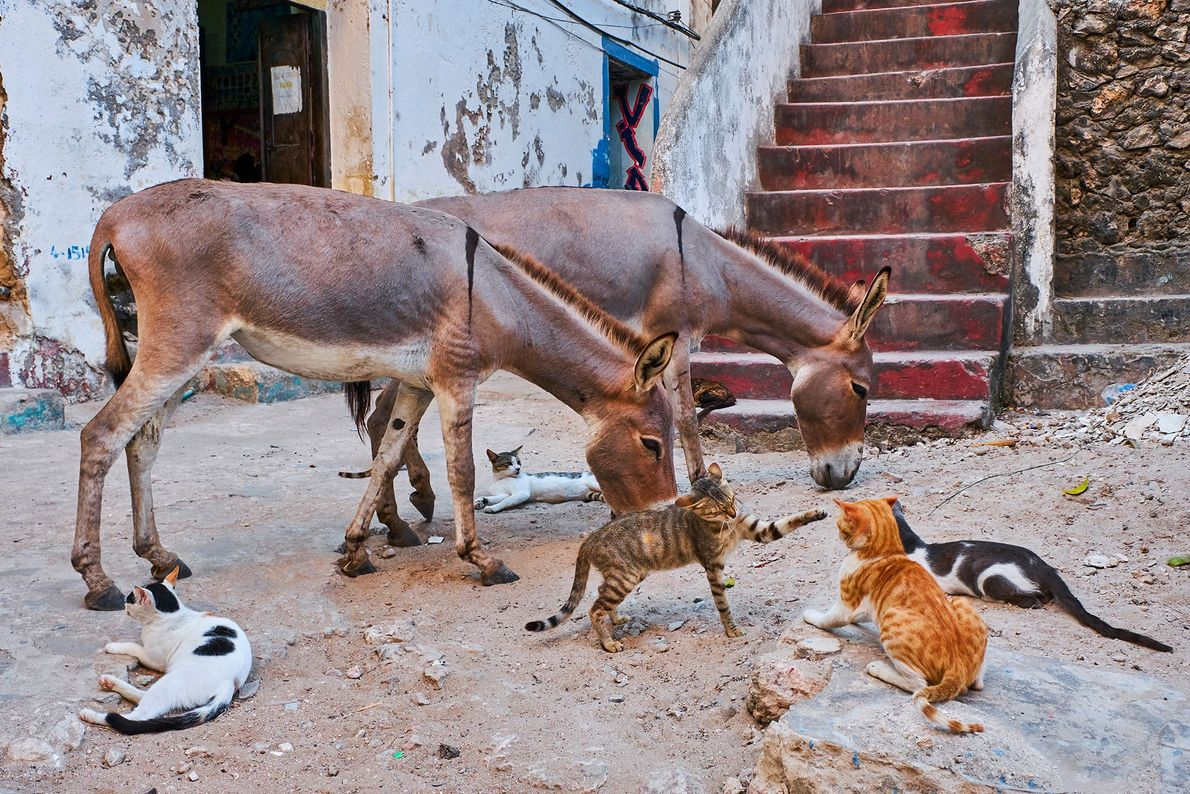 In addition to its dense population of street cats, Lamu is home to thousands of donkeys.