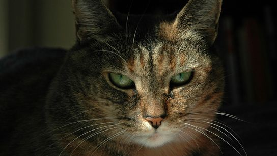 Like humans, cats communicate their emotions through facial expressions.