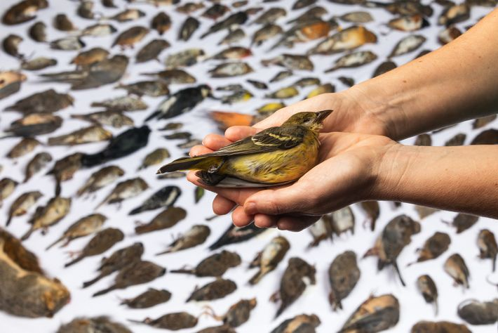 WildCare's Melanie Piazza holds a western tanager killed by a cat. Photographer Jak Wonderly documented the ...