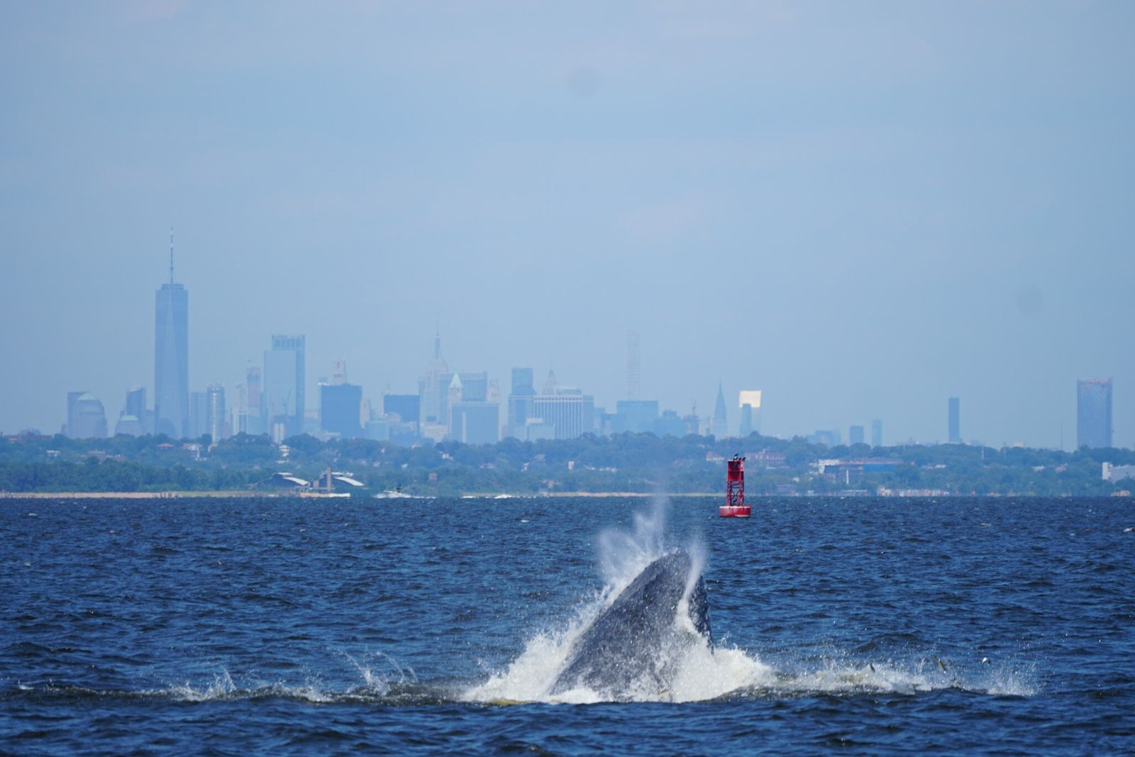 In July 2018, humpback whale NYC0082 feeds on menhaden—a prime food source and a key species ...