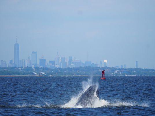 Why whale watching is having a moment—in New York