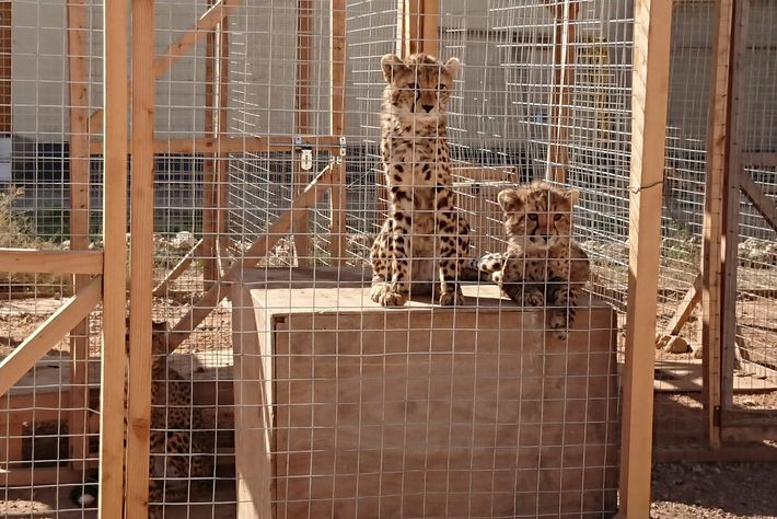 These are two of six cheetahs confiscated in August in Somaliland from two men who were ...