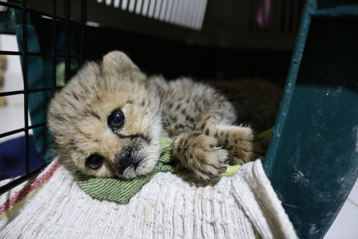 This cheetah cub was seized in Somaliland. Named Light as a Feather, she was taken to ...