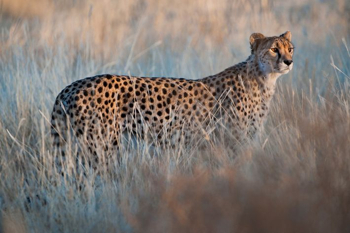 Cheetahs are the only big cats that purr when contented.