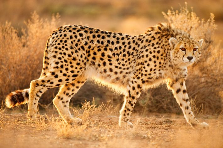 An Asiatic cheetah crosses the Miandasht Wildlife Reserve in Iran.