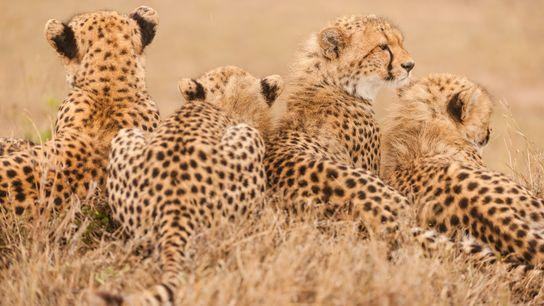 cheetah-extinction-2