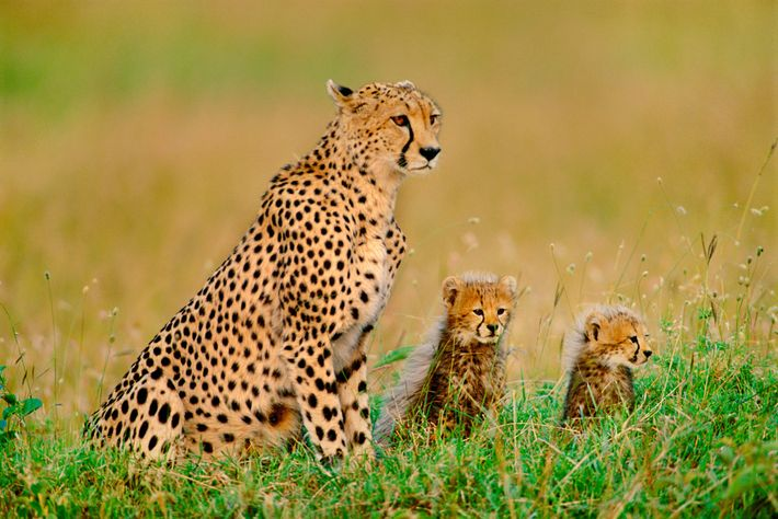 A cheetah and two cubs gaze across the landscape in Kenya.