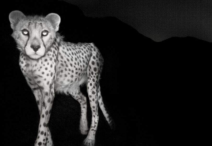 This photograph of an Asiatic cheetah in Iran's Naybandan Wildlife Reserve was taken by a low-resolution ...