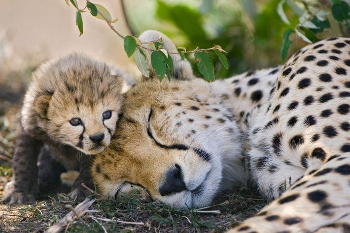 Cheetahs - Wildlife Photography