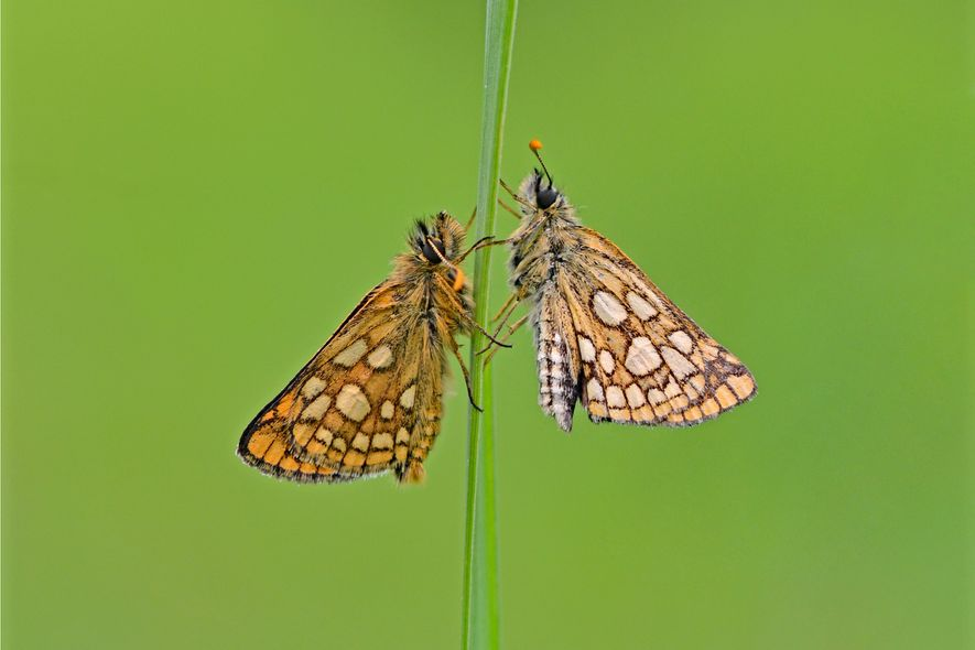 Modest marvel: the chequered skipper doesn't win any prizes for ostentatious colouring. But its presence can ...