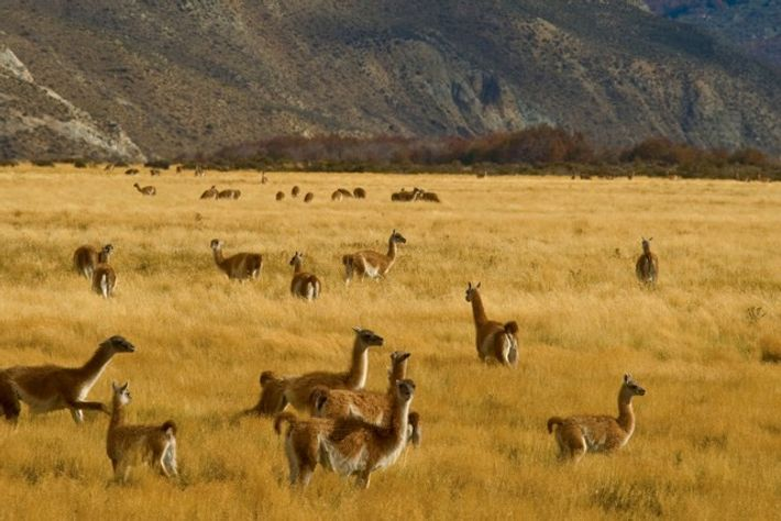 Guanacos graze the grasslands of the Chacabuco Valley. Credit: Alamy