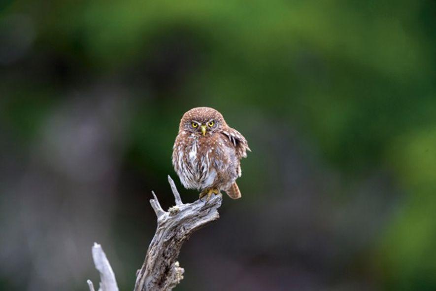Austral pygmy owl. Credit: Getty