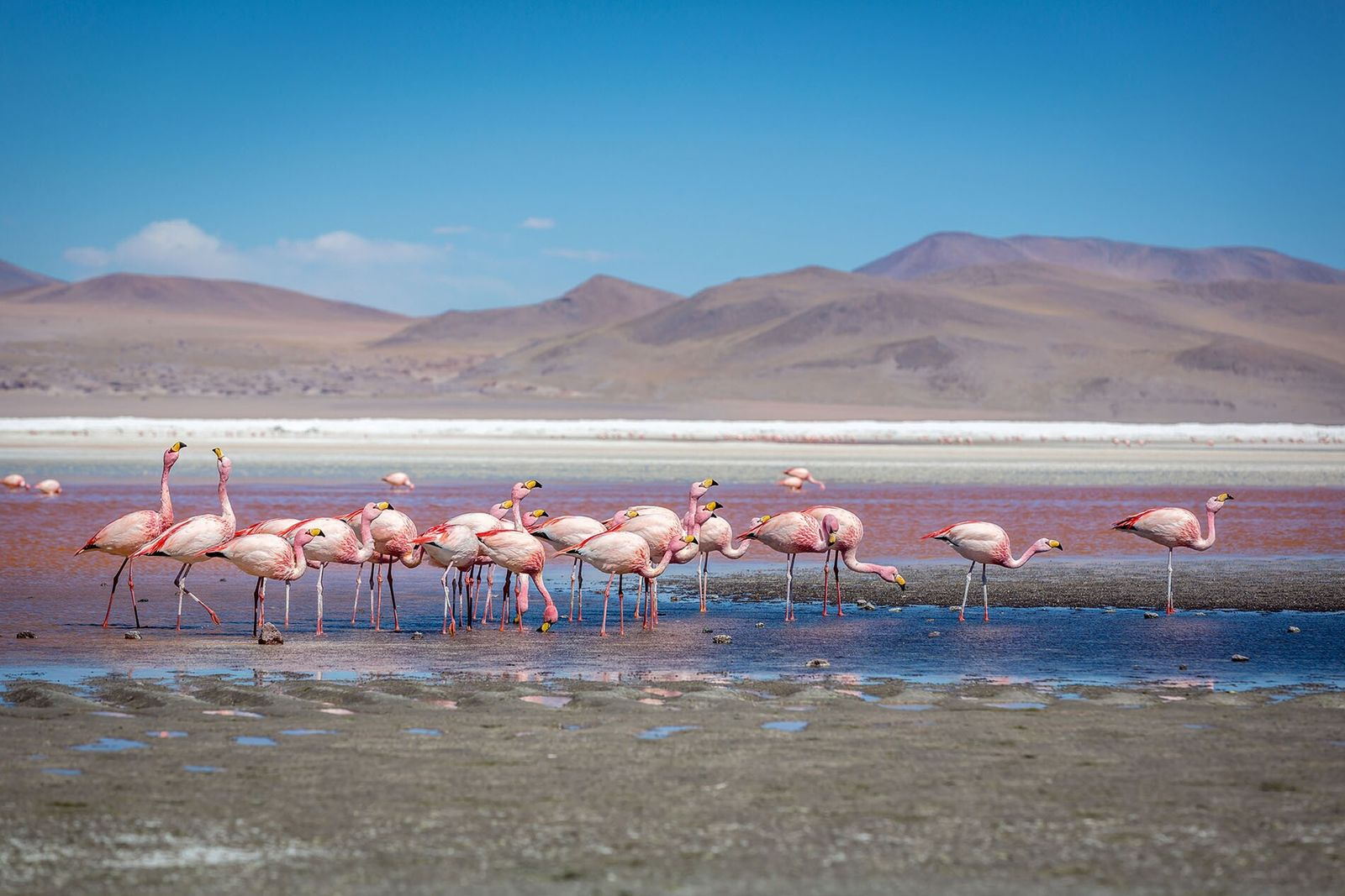 Despite the harsh conditions, the Atacama Desert's high-altitude lakes sustain a variety of wildlife, including Chilean, ...
